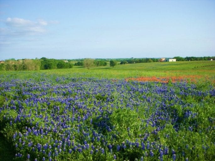 bluebonnet festival, texas bluebonnets