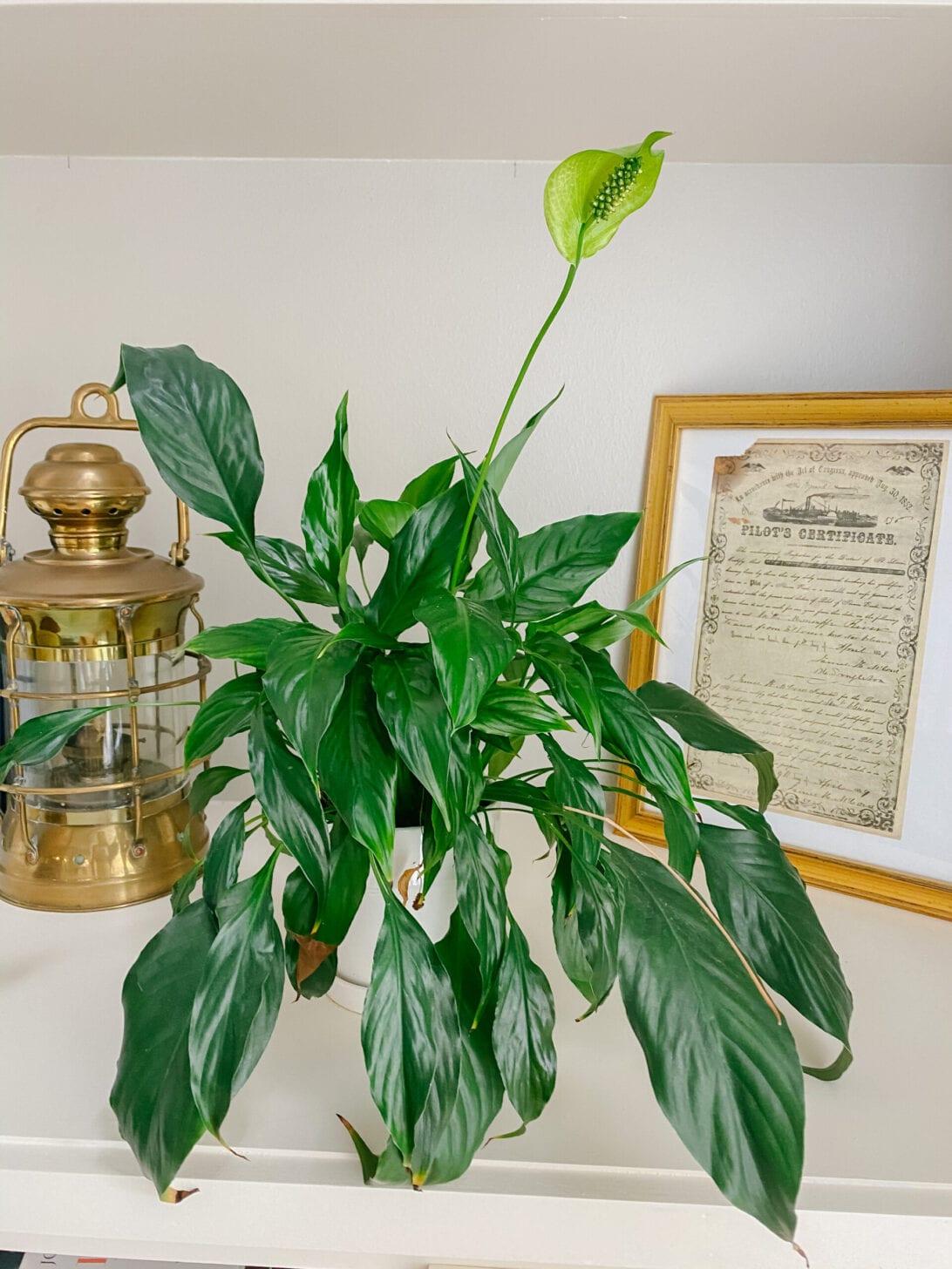 PEACE LILY, LOW MAINTENANCE HO-- USE PLANTS